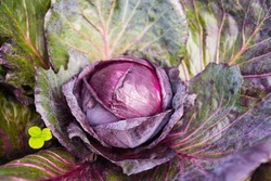 Fresh ripe head of red cabbage (Brassica oleracea) with lots of leaves growing in homemade garden. View from above, close-up. Organic farming, healthy food, BIO viands, back to nature concept.