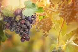 Fresh ripe juicy grapes growing on branches in vineyard, space for text