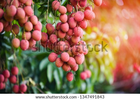 Fresh ripe lychee fruit hang on the lychee tree in the garden