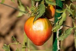 Fresh, ripe, organic tomato shot in a garden