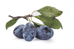 Fresh ripe plums on the branch with leaves on white background