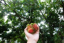 Fresh ripe rambutan on hand with bokeh rambutan tree background