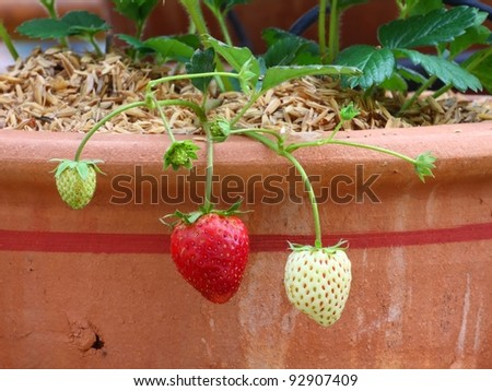 Fresh ripe red strawberry in greenhouse