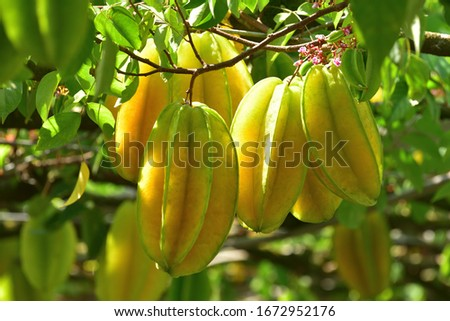 Fresh ripe star fruit in orchard Сток-фото ©