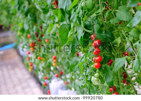 Fresh ripe tomatoes on the plant
