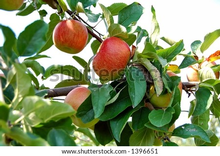 fresh ripened apples on tree in orchard