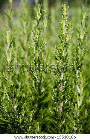 Fresh Rosemary Growing in a Herb Garden