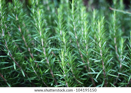 Fresh Rosemary Herb