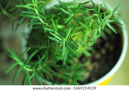 Fresh Rosemary herb in flower pot on a windowsill. Healthy food, greens, vegan, raw, organic products, vitamins and minerals. Natural background.