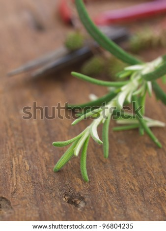 fresh rosemary with old antique scissors