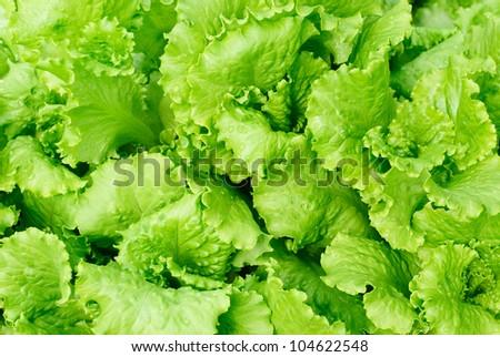 fresh salad lettuce background