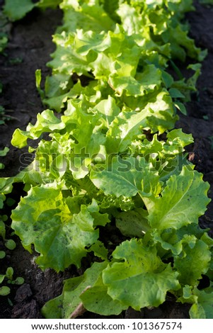 Fresh salad lettuce in a greenhouse
