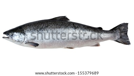 Fresh salmon isolated on a white studio background