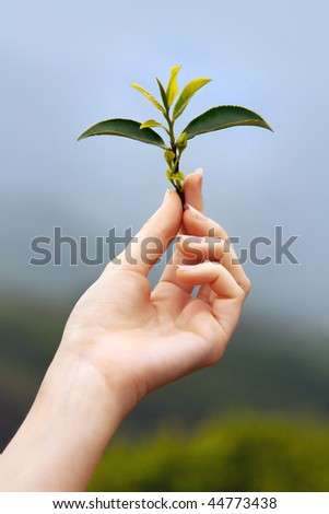 Fresh sheets of tea in a young woman's hands. Against a tea plantation and the sky