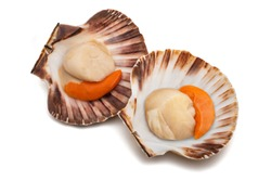 fresh shell scallop isolated on white background