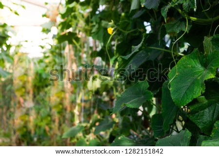 Fresh shoots of cucumber grow in greenhouse. Gardening for growing vegetables, farmer grows cucumbers. Food for vegetarians. #1282151842