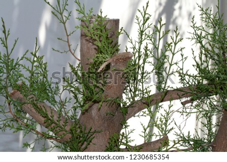 Fresh shoots on a cedar tree with grooved branches
