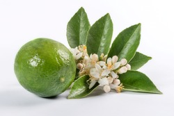 Fresh shot of a lime tree branch with fruit Limes with their natural flower blossoms