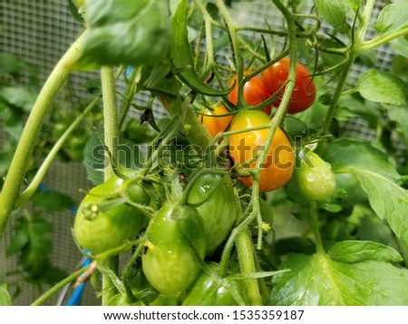 Fresh small organic tomatoes growing on vine from unripe, nearly ripe, and fully ripe #1535359187
