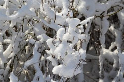 Fresh snow fall clinging to branches in the Northeast.