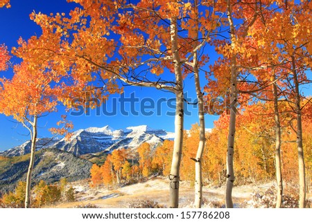 Fresh snow in a colorful aspen glade in the Utah mountains, USA.