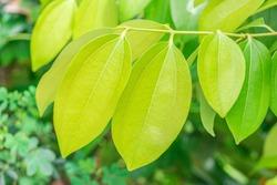 Fresh soft green leaves of Cinnamon, Cassia (Cinnamomum Tamala (Hamilton) Nees & Eberm) on tree in the herbal garden