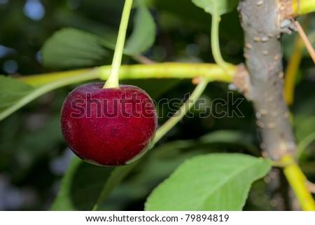 Fresh sour cherry on a tree