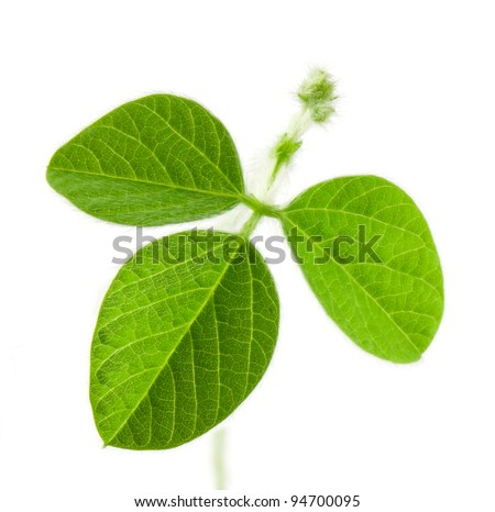 Fresh soy leaves isolated on white