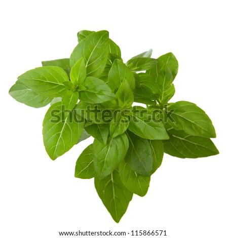 Fresh sprig of basil isolated on white background.