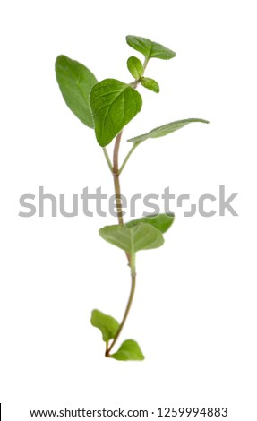Fresh sprig of oregano and dry oregano spice isolated on white background #1259994883