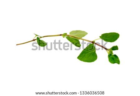Fresh sprig of oregano and dry oregano spice isolated on white background #1336036508