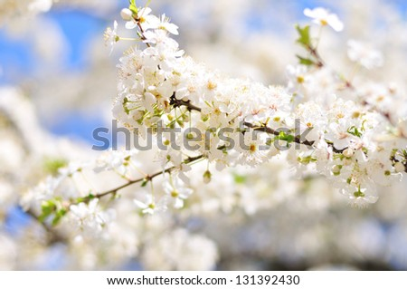 fresh spring background with blossom tree