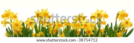 Fresh spring daffodils border isolated on white