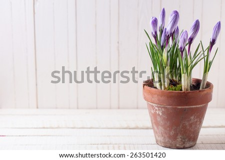 Fresh spring flowers crocuses in old terracotta pot  on white wooden table. Still life photo. Selective focus.