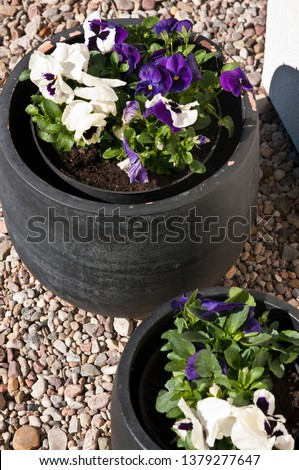 Fresh spring flowers (pansies) inside a modern grey pot with pebbles background. Home exterior or garden decoration detail. Houseplant detail.
