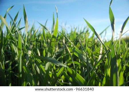 Fresh spring grass growing under the blue sky.