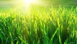 Fresh spring green grass and sun