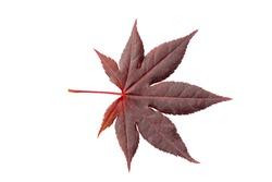 Fresh spring Japanese red marple tree leaf isolated on white background. Herbarium series.