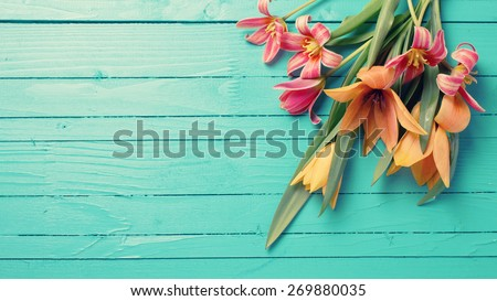 Fresh  spring red tulips flowers  on turquoise  painted wooden planks. Selective focus. Place for text. Toned image.