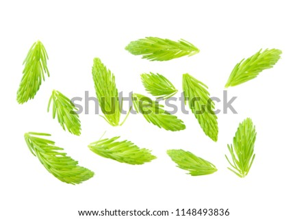Fresh spring shoots of spruce are natural source of vitamin C. Isolated on white.