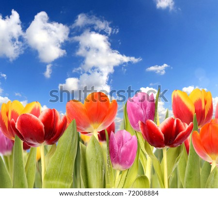 Fresh spring tulips with sky