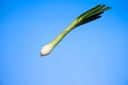 Fresh stalk of spring onion close up studio shot isolated on blue background.