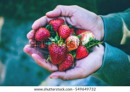 Fresh strawberries closeup. holding strawberry in hands #549649732