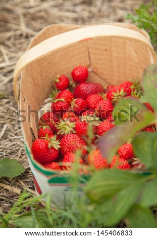 Fresh strawberries in basket. Picking strawberries on the farm.