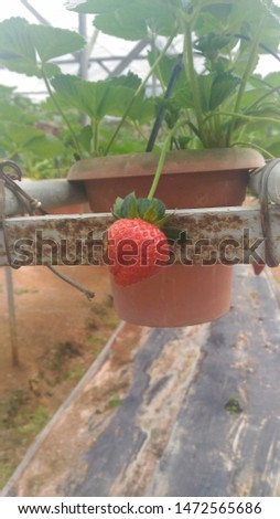 Fresh Strawberry from fresh farm