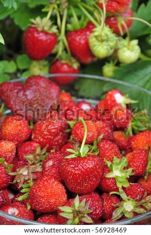Fresh strawberry picking