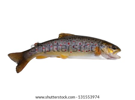 fresh stream trout on white background - stock photo