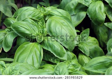 Fresh Sweet Basil(Ocimum basilicum) Zdjęcia stock ©