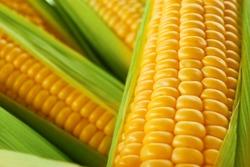 Fresh sweet corn, close up