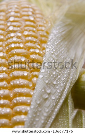 Fresh sweet corn with drops of water.